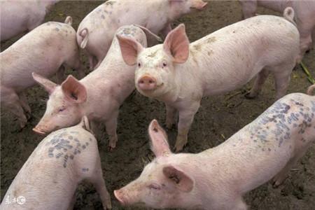 如何正确解决猪发烧,猪低烧时该怎么处理? - 猪