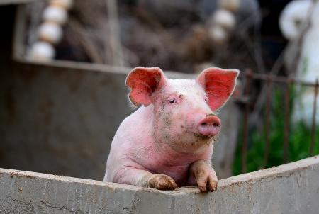 安福浒坑镇政府旁养猪户扰民无人管 周边臭气熏天