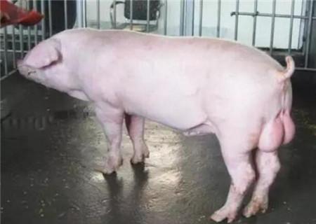 为什么要做好种公猪站的生物安全?侬晓得吗?