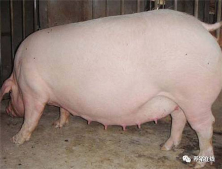 从妊娠母猪的吃喝拉撒睡谈它的饲养管理