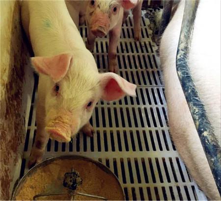 这里的小猪比网红小猪还萌