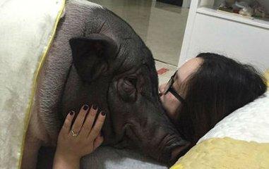 很多网友看到后纷纷表示:人活得不如猪啊。这只猪还有一个不符合它性别的名字-如花。
