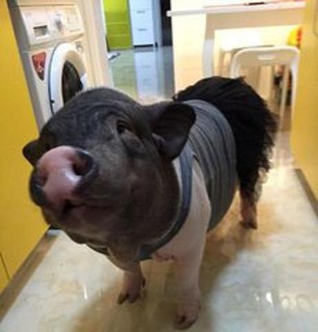 现在这只猪的体重已经有130斤,怎么才能更好的照料好它,对女生来说是一件很不容易的事情。