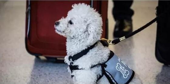 前不久,旧金山机场推出了一项计划,让受过训练的狗狗到候机厅去,给乘客带来欢乐。