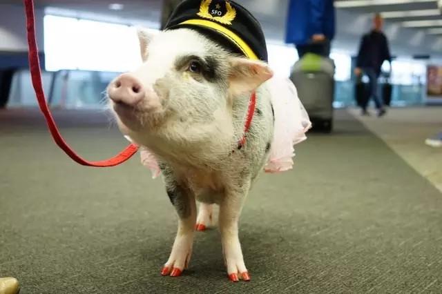 最近,一只小胖猪Lilou,作为机场的最萌工作人员,也加入到这个大家庭中。这一出场的气质就与众不同,看这指甲油,谁还不是公主咋滴。