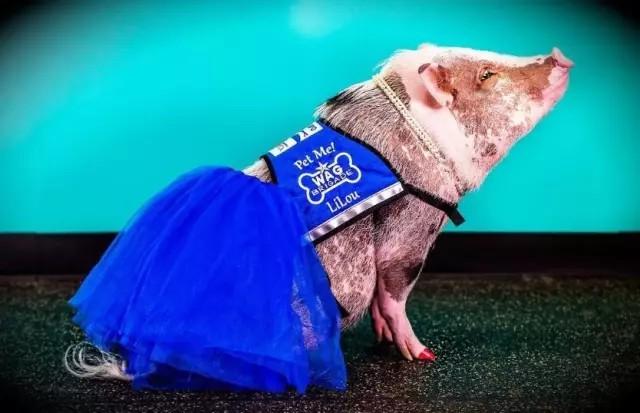 走到看到小胖猪那么受欢迎,主人就给它开了一个社交账号,上面全是它的美照,大家来感受一下……图为开工前的定妆照……哪都能引来目光。