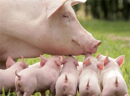 几个小方法,教你降低初生仔猪死亡率!