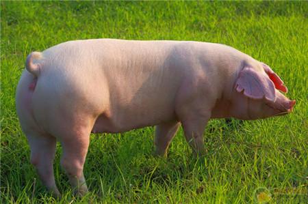秋季养猪秘诀在这里