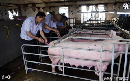 农村养猪:猪病防控,很多猪场这几个细节都没做好!