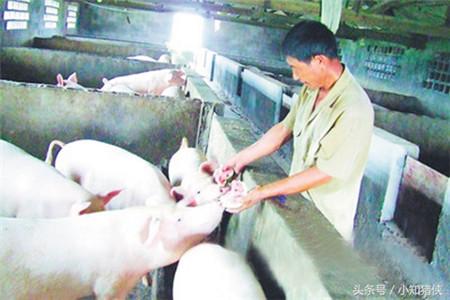 这五个食醋偏方值得收藏,能让养猪户轻松治疗猪病!