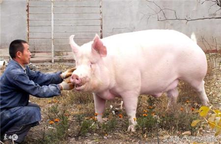 """一看就知道猪得了什么病!这几个方法教你""""看""""猪皮识病"""