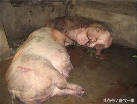 猪食盐中毒病