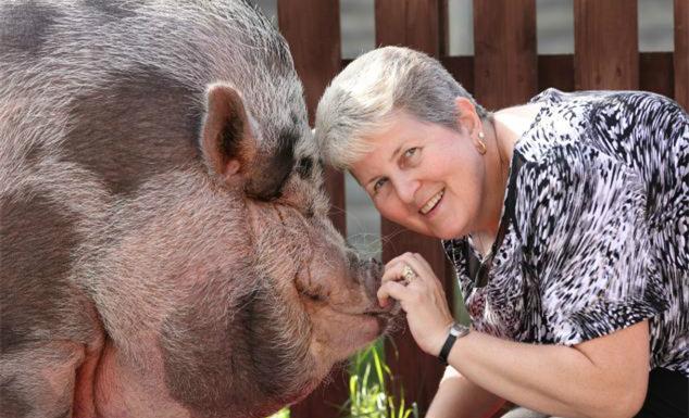 又是一个被无良商贩坑害的故事:好好的猪养着养着就成这样了