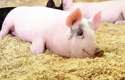 进入9月份以来,昼夜温差明显增大,尤其是最低气温明显降低,同一天内气温多变是此时的天气特点。此种气候条件下,我们的工作重点应从防暑降温逐渐转为防寒保暖以及缓解环境剧烈变化的影响。从9月份及10月初的公猪生产成绩来看,本该是良好成绩的黄金季节,却在多个猪场中,公猪站的合格率反而下降。这说明大家的管理还没及时跟上季节的变化。近期了解很多公猪站的生产管理,结合往年的管理经验,提出以下应对措施供大家参考:      01/高度关注天气的变化      1、注意天气预报:至少公猪站负责人应该要掌握天气预报,能对一天的天气有个大概了解,根据天气变化决定第二天的工作重点。比如最高温度超过27度,应该考虑在中午时候适当使用水帘系统,关于水帘的开与关的时机应把握好;最低温度低于23度,晚上应该关注风机的开关情况(什么时候关风机较好);最低温度低于18度,晚上需注意公猪的保温。      2、详细温度记录:包括舍内、舍外的温度记录。温度记录应抓住关键时间点,督促早上、中午、晚上几点分别做好记录。利用这种方式来监控公猪群有没有受高温或低温的威胁,从而有了威胁以后,针对性的采取措施。      3、灵活开关窗户、风机、水帘:公猪的适宜温度是18-25度,以最简单,最节约成本的方式,使公猪处于适宜温度范围。      02/疫苗注射与公猪群保健的注意事项      1、疫苗注射与抗生素、中草药的添加尽量隔开:最好能隔开1周,较大应激的疫苗(如口蹄疫)注射后,最好能间隔半个月后再加抗生素或中草药。      2、注意疫苗注射时的抗应激:最好在疫苗注射前三天开始加VC粉等抗应激,应激较大的疫苗,可以提前三、后三天且加多几天抗应激药。      3、营养药的调理:疫苗注射后,添加抗生素、中草药后,需加氨基酸之类的营养药进行调理。影响较大的疫苗,营养药的调理需稍微提前且加多几天。      4、新品种疫苗或换新厂家生产的疫苗,先做小批量试验,看猪群影响的大小来决定是否分批次注射。      03/中午与晚上的值班      由于天气变化较大,中午与晚上必须有人对公猪站值班。可以采取夜班协助的方式。      04/加强公猪站人员的管理      高温季节虽然已去,环境的多变给公猪站工作带来了更大的挑战,需继续加强对公猪站相关人员的管理。      05/加强后备公猪的饲养管理      此时温度不是影响公猪精检指标的主要因素,后备公猪可以适当延长在隔离舍停留的时间,加强疾病净化与保健,合理运动提供良好的体况与肢蹄。      06/加强公猪运动      公猪运动能增强公猪抵抗力与抗应激能力,增强性欲。从现在开始应制定合理的公猪运动计划(合理轮换,每周最好能运动两次),当环境温度低于23度时,放公猪出来运动。运动时间要注意逐渐增加或前几次出来运动时,可以采取人为诱导的方法(使用青饲料、白色衣服、母猪气味等),减少强烈驱赶。