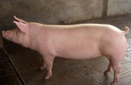 为什么说下滑呢?由于目前为国庆及中秋假期,并且恰逢国内的农忙旺季,水稻、玉米及大豆等农作物都在此期间收割,这段时间猪肉的需求量将会出现明显的上涨