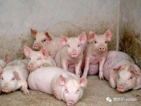 秋冬季保育猪饲养管理必须知道的五大要点