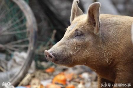 """秋季养猪要抓好""""三个要点""""!"""