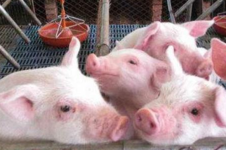 今天有一个刚开始养猪的网友咨询我:今天早上起来喂猪,突然发现有一头猪屁股后面拖一个大包,看着红肿红肿的,是什情况?我具体了解了情况,原来猪发生脱肛症状。秋冬季节是猪脱肛症发病的高发期,本文猪农讲解下猪脱肛的致病原因,以及防治方法。      猪脱肛病因有多种,常见致病原因与饲料、病理、物理、遗传等有关,猪发生脱肛后,大肠末梢、肛门内侧脱出肛门外。脱肛症状轻的对猪影响不大,脱肛症状较重的脱出部分水肿、出血、溃烂,甚至会致使大肠全部脱出,严重影响猪只的生长速度,因卖相不好,猪贩子会刻意压价,更严重导致猪罹患败血症而最终致死。      猪场发生脱肛病例,该怎么办?      饲料因素引起的猪脱肛      饲料被霉菌毒素污染是致使猪脱肛症状的主要原因,当饲料中霉菌毒素含量超标,猪只采食后霉菌毒素在肠道内累积,过量的霉菌毒素会刺激猪直肠肿胀而引起猪脱肛症状。因此猪场发生脱肛情况一定要先查看饲料是否有霉变情况,特别是秋季,新收获的玉米已经开始流入市场,而新收获的玉米因含水量大,再加上秋季多雨潮湿,极易导致储存的玉米发生霉变。      除饲料霉变外,饲料中长期添加棉粕,会造成猪只中毒而引发脱肛症状;另外,突然更换饲料、饲料中粗纤维含量过低或过高,以及饲料中含钙量过高也可以引起猪脱肛症状。      猪场发生脱肛病例,该怎么办?      防治饲料因素引起的猪脱肛,建议猪饲料要做好防潮措施,经常晾晒,并保证饲料中长期添加脱霉剂;不建议在长期在饲料中添加棉粕,定期安排添加;在配制猪饲料时要合理搭配营养成分,保证营养的同时,也要遵循饲料的搭配原则。      病理因素引起的猪脱肛      一些疾病病理刺激能引起猪脱肛情况,例如猪长期便秘、腹泻,持续刺激肛门括约肌,致使其功能紊乱而引起脱肛;另外,猪呼吸道疾病引起的猪咳嗽也能引起猪脱肛,猪剧烈咳嗽会致使腹腔内压升高,会造成直肠异位而脱出。      病理引起的猪脱肛要先缓解猪病症,再对脱肛症状进行治疗,下文会说猪脱肛具体治疗方法。      物理因素引起的猪脱肛      当猪舍温度过低或猪群饲养密度过大,猪群挤压,造成猪腹部内压过大引发猪脱肛症状。      猪场发生脱肛病例,该怎么办?      遗传因素引起的猪腹泻      猪农遇到过这种情况,某头母猪所产的仔比其它母猪产的仔更易发生脱肛症状,据此可以说明遗传因素也是猪脱肛的原因。如果猪场遇到此种情况,建议及时淘汰这样的母猪。另外,需要说明的是遗传引起的猪脱肛,多是近亲繁殖引起的,因此在平常猪场生产安排时,尽量减少近亲繁殖。      对于脱肛症状较轻的猪,用10%的明矾清洗脱出的部分,消毒、消肿后,把猪后腿提起,缓慢把脱出部分送回腹腔,并使猪后腿离地半小时,一般能脱肛症状就会缓解。      如果猪脱肛症状严重或频繁脱肛,那就需要手术治疗了,用10%的明矾清洗脱出的部分,消毒、消肿后,把脱出部分送回腹腔,并对手术针线消毒,对脱出部分进行荷包式缝合,手术后再注射头孢消炎,用药3天,脱肛症状一般都能缓解。