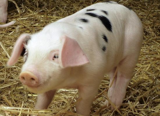 沈阳猪饲料兽药批发生产厂家详解养猪四大误区