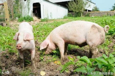 公猪每天的蛋白质、能量、钙磷如何配比最科学?