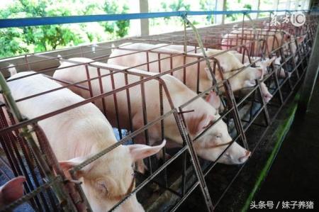 养猪人多年建设猪场经验,减少新手养猪人损失