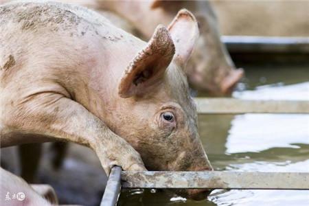 猪为什么喝尿?吃屎?吃仔猪?