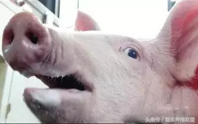 七种病变症状,教您正确识别猪中毒!