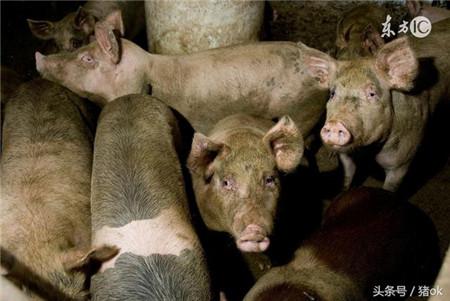 豆腐渣喂猪要注意些什么?用豆腐渣喂猪导致猪中毒了怎么办?