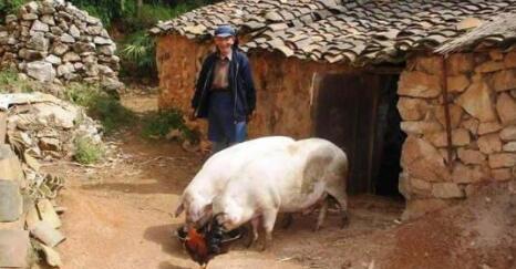 节后猪价回落,第四季度猪价或将低开高走,难上8元