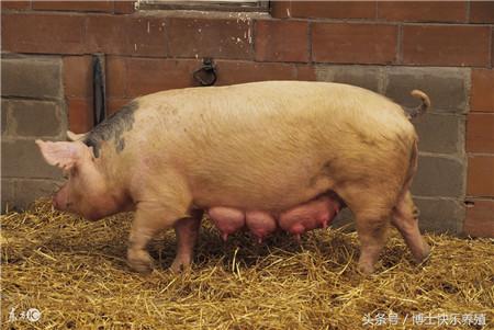 养猪技术:如何养出健康高产母猪的小妙招,有多少养殖户知道呢?