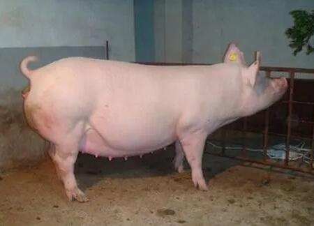 孕期母猪五个阶段的繁殖疾病,你了解吗?