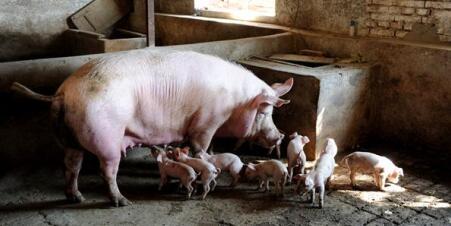 猪价有下跌风险,猪市短期调整,年底前必定大涨!