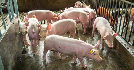 进入10月中旬后,猪价会有一个稳中上涨阶段的可能性