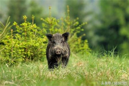 处理猪粪便的2种方案,巧妙解决养猪户的环保压力!