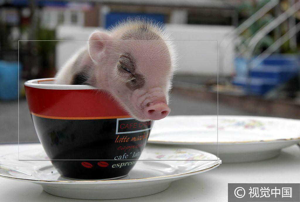 """迷你小猪摇身一变""""茶杯猪"""" 小巧玲珑好阔耐"""