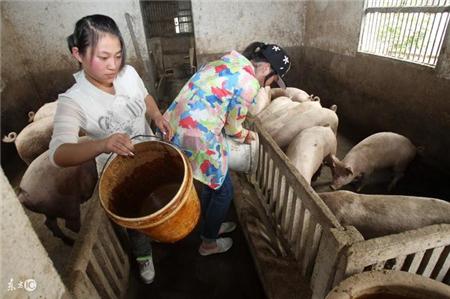 猪催肥应该喂什么料,一般人都喂错了!