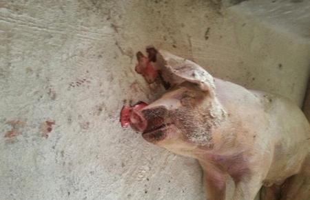 猪死后流鼻血是什么病?怎么防治?