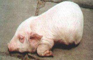 这种病要注意!!猪水肿病的症状与防治!