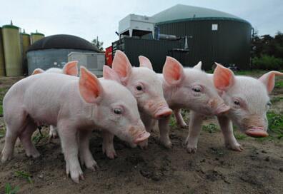 必读!四季度生猪养殖利润料超预期!
