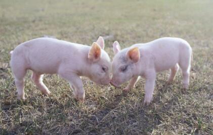 养猪人今年想打翻身仗?这或许是最后一次机会