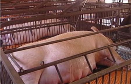 董广林:母猪饲养中不可忽视的微量元素蓄积中毒现象怎么破?