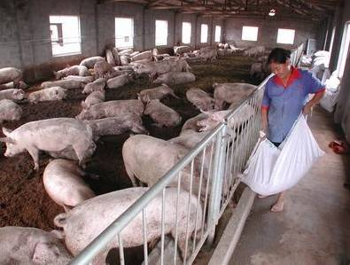 四十年老猪倌养猪经验!必须收藏的养猪偏方!