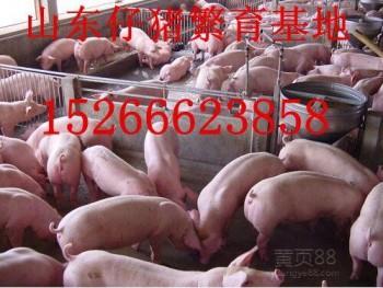 山东仔猪繁育销售基地三元仔猪价格