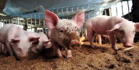 降雨利好猪价 10月中下旬猪价走势或有改观