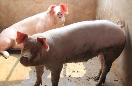 牧原、正邦生猪销量暴涨 养户该担心什么