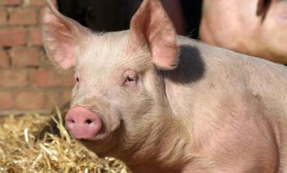 规模越大的养猪场越正规?农村小猪场表示呵呵!