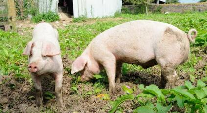 """养猪到底能不能赚钱?其实是这4个""""Y""""决定的!"""