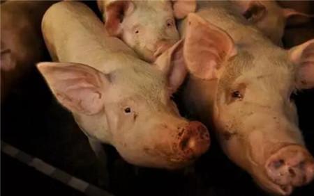 本周猪价小幅下跌 生猪市场处动荡期 月底或迎消费旺季