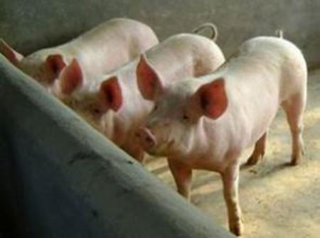 与国外仍有40%的距离 中国与养猪强国差距在哪儿?
