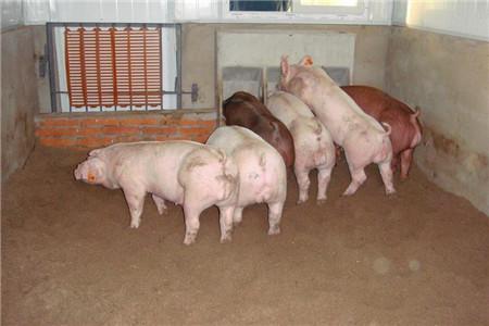 双汇要在美国建猪场,收购屠宰场,有一关键因素!